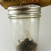 Carpenter Bees in Trap