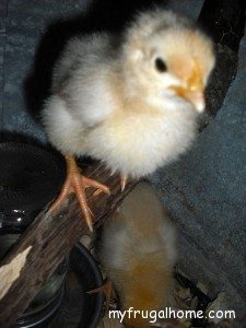 Buff Orpington - Week Old Chick