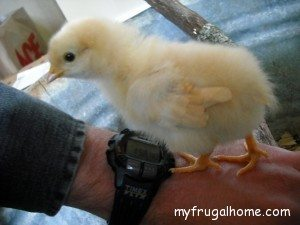Baby Chick - 1 Week Old