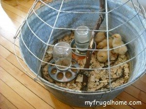Brooder with Lid