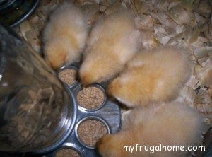 Chicks Feeding