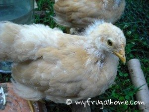 Buff Orpington Chick - One Month