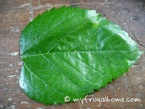 Mulberry Leaf - Unlobed