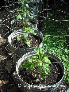 Bell Pepper Plants