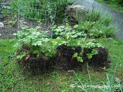 Caged and Mulched Potato Plants