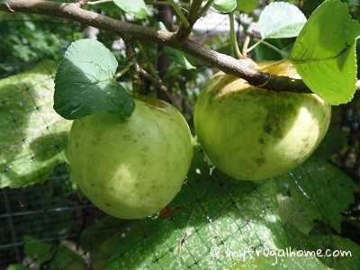 Apple Tree - July