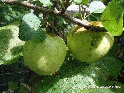 Apple Tree - July