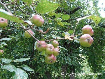 Crabapples - Unripe