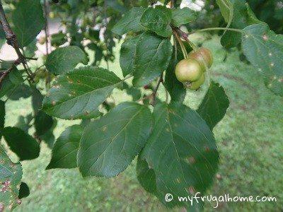 green apple tree leaves. crabapple tree leaves green apple