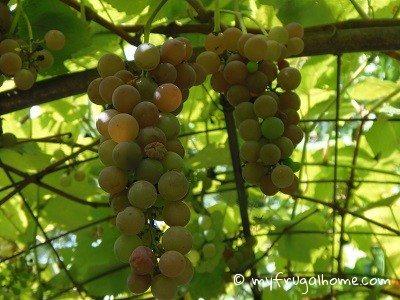 Grapes - July