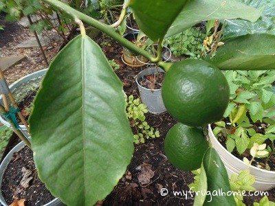 Lemon Tree - July