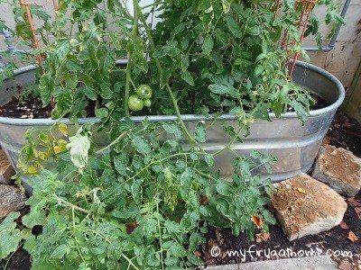 Tomato Plants - July