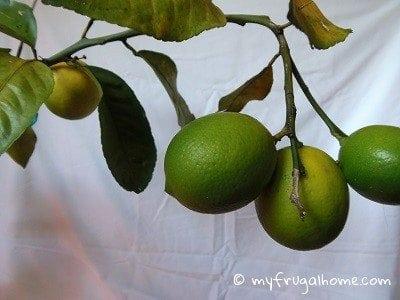 Lemons Ripening