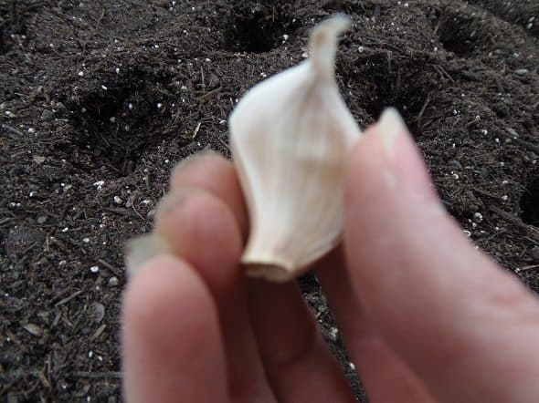 Plant Garlic with the Pointed End Up