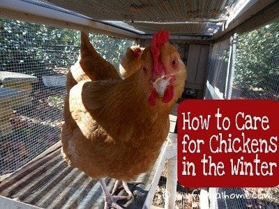 How to Care for Chickens in the Winter