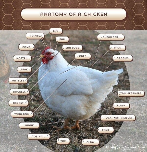 Chicken Anatomy