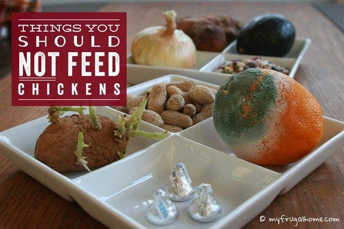 Things You Shouldn't Feed Chickens