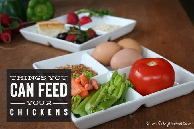 Things You Can Feed Chickens