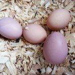 Eggs in the Nesting Box