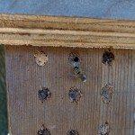 Mason Bee Hatching