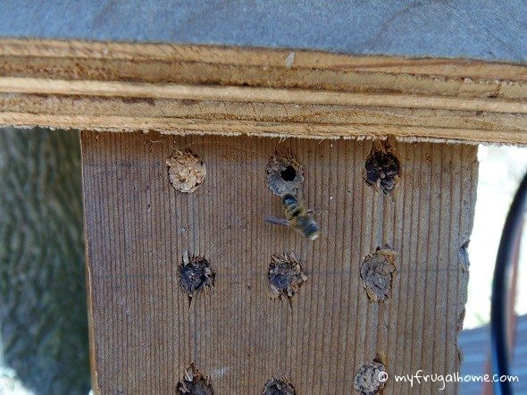Mason Bee Hatching