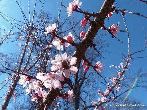 Mason Bee Pollinating Apricot Tree