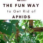 Aphid Damaged Leaves