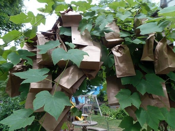 Bagged Grape Arbor