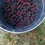 Bucket of Mulberries