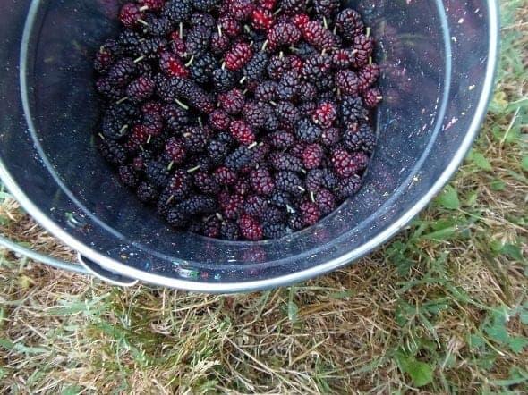 Bucket of Mulberries