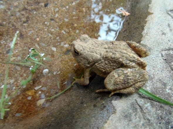 Toad in Bird Bath
