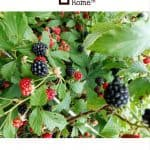 Blackberry Briars