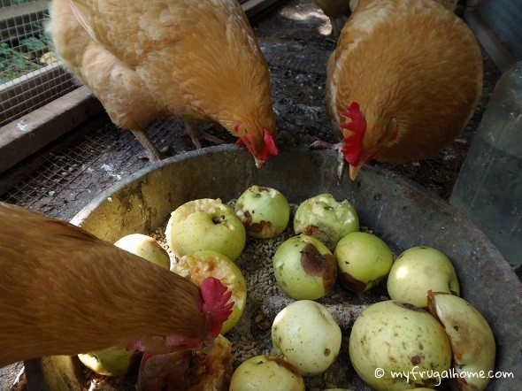 Chickens Eating Apples