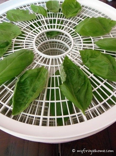Dehydrating Basil