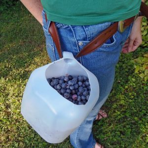 Make a Hands-Free Berry Picking Bucket