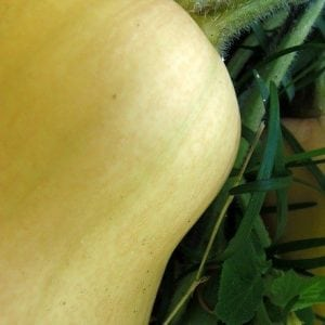 When to Pick Butternut Squash