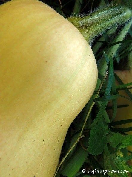 Butternut Squash - Not Ripe Yet