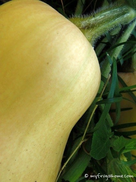 Butternut Squash - Not Ripe Yet
