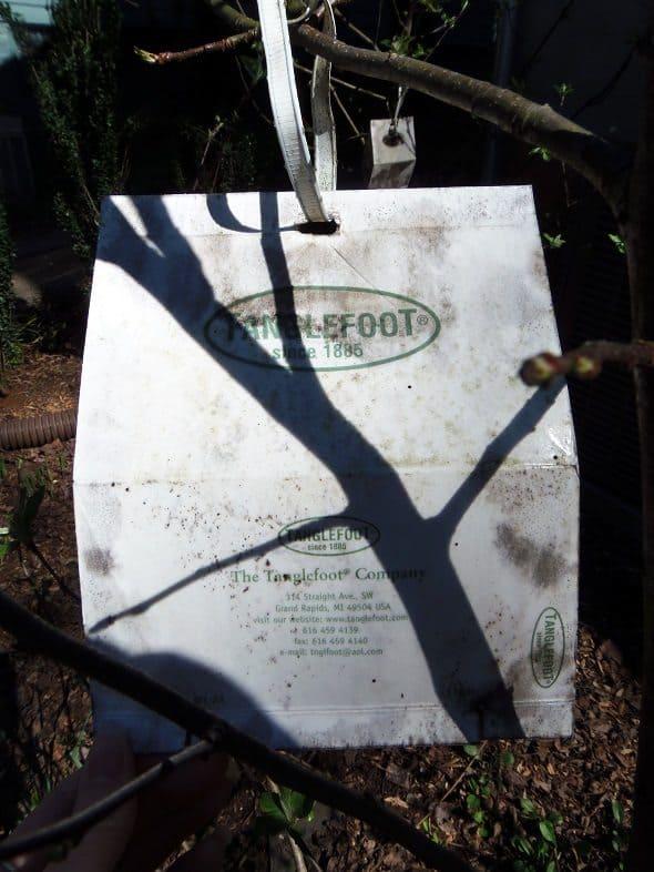 Codling Moth Bait Trap