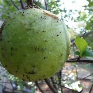Cheap Organic Pest Control for Fruit Trees