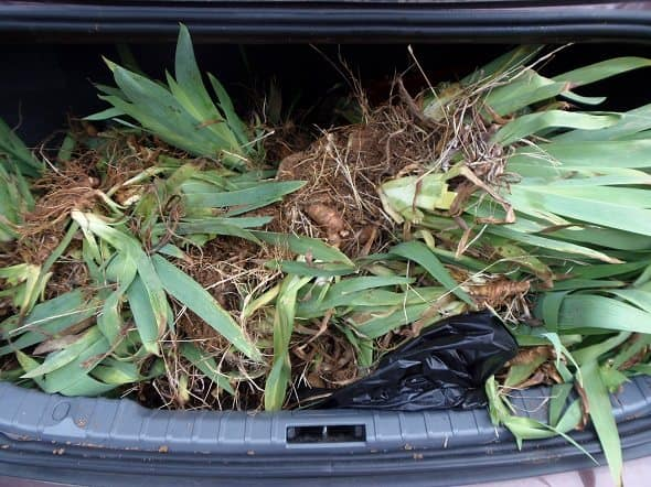 Trunk Full of Irises