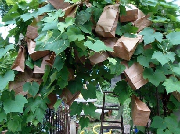 Bagged Grapes
