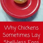 Shell-less Chicken Egg