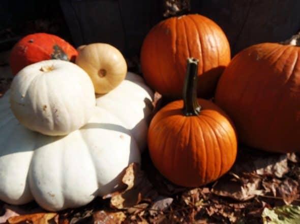 Curbshopped Pumpkins