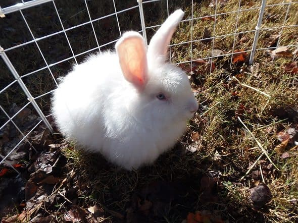 Picture of Satin Angora Rabbit