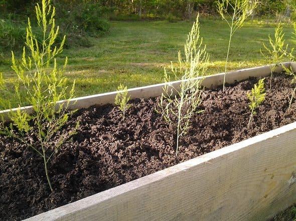 Young Asparagus Plants