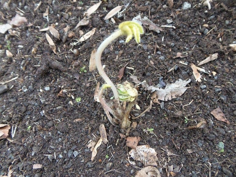 Dormant Strawberry Plant