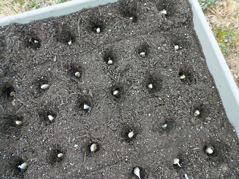 Garlic Planted in Holes