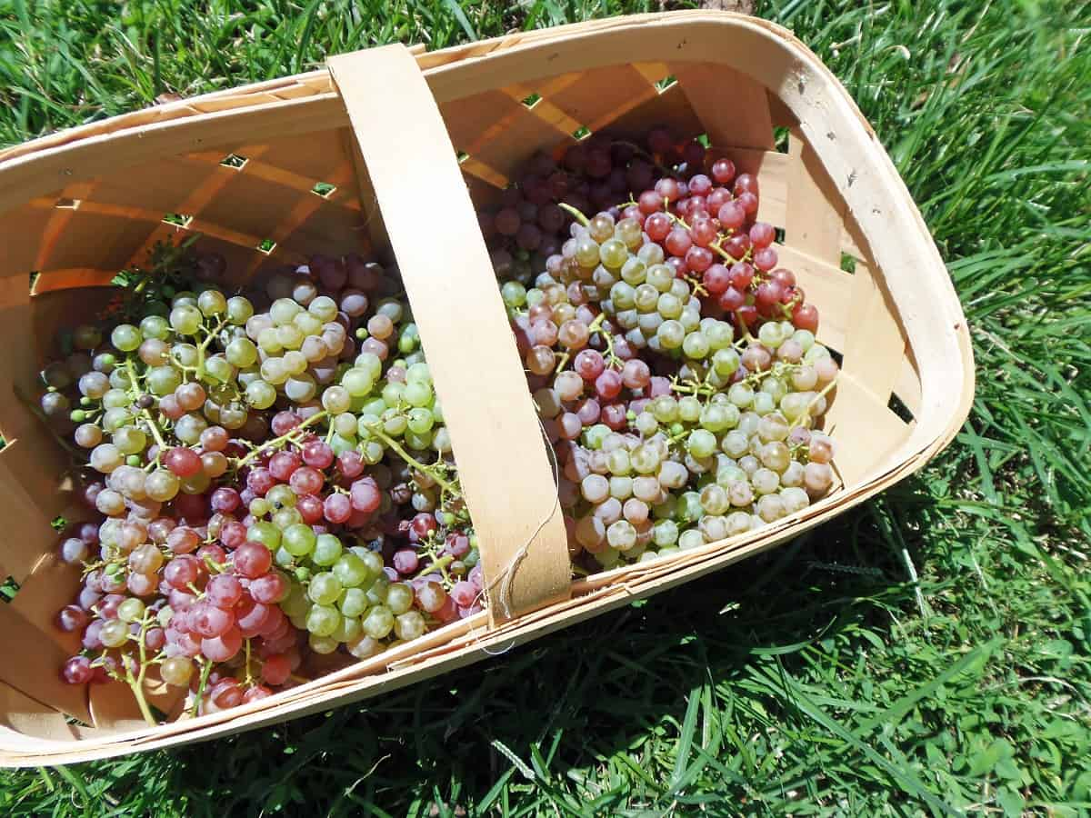 Basket of Homegrown Grapes