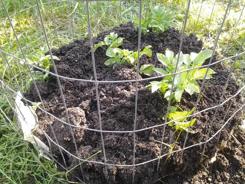 How to Grow Potatoes in a Cage
